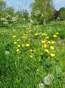 Buttercups-and-cow-parsley